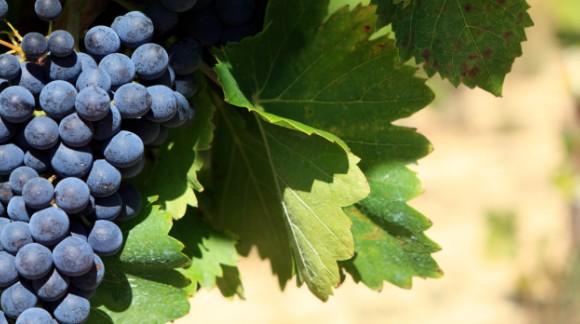 La cosecha de Rioja 2015 calificada como muy buena